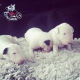 Bull Terrier Lindos Filhotes