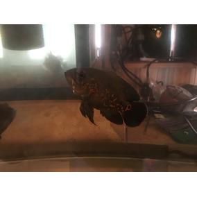 Peixe Oscar Super Red Tigre 8cm