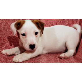 Hermosos Cachorros Jack Russell Terrier!!!