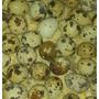 Huevos De Codorniz Fertiles Japonica-española