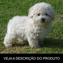 Poodle - Como Criar Seu Filhote (frete Gratis) + Brinde!