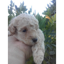 Ultimo Cachorro Caniche Mini Toy Macho Apricot Te Con Leche