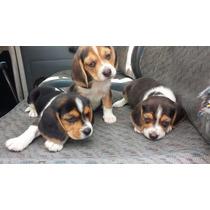 Cachorros Beagle Fotos Reales