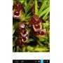 Mudas De Orquídea Maxillaria Cogniauxiana Mudas Adultas