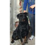 Rottweiler Hembra Busca Novio De La Misma Raza