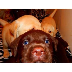 Cachorros Labradores Retriever Arenas Y Chocolates Calquin