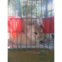 Conejos Loop O Belier