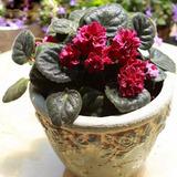 100 Sementes Raras Planta Violeta Flor Áfricana Bonsai Grama