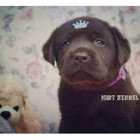 Labrador Legítimo Fêmea Chocolate Pedigree Cbkc Olhos Claros