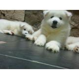 Hermosos Cachorros Samoyedo