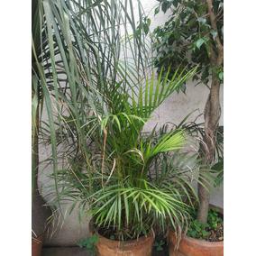 Arboles, Palmas, Ficus, Pata De Elefante Con Macetas