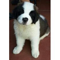 Cachorro San Bernardo Ultimo Bebe