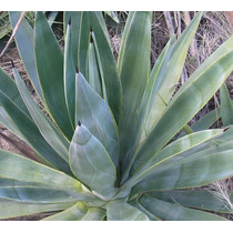 Agave Azul Tequilana