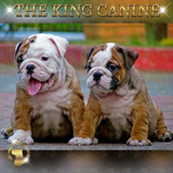 Bull Dog Ingles. The King Canine Colombia