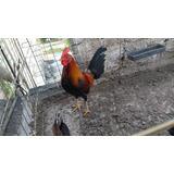 Pollos De De Combate 6 Meses Gallos De Pelea