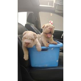 Cachorros Shar Pei Crema Con Papeles De Fca