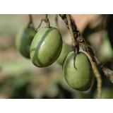 Azeitona Do Ceilão - Sementes Árvores Para Mudas
