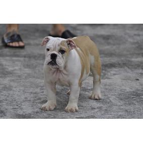 Fêmea De Bulldog Inglês Padrão Excelentes Pedigree Cbkc