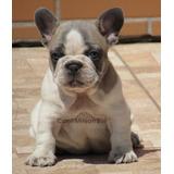 Bulldog Frances Femea Blue Fawn Pied, Pedigree Cbkc