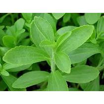 Stevia Endulzante Natural Planta Dulce Hoja Hierbas Aromatic