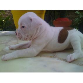 Cachorra Boxer Blanca