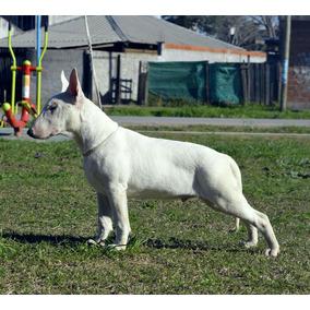 Cachorro Bull Terrier 5 Meses