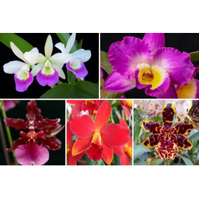 Kit 10 Orquídeas Mudas Grandes Cores Sortidas Adultas