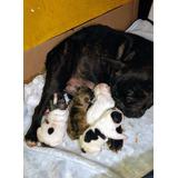 Preventa Cachorros Bulldog Frances Pied Y Fawn