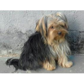 Lindo York Terrier