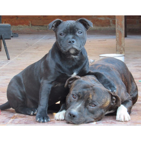 Cachorro Staffordshire Bullterrier Excelente Linea De Sangre