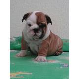 Cachorro Bulldog Ingles.(hijos De Padre Con Pedigrí.)
