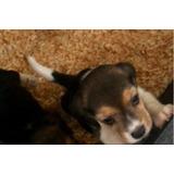 Espectacular Beagle 13 Pulgadas