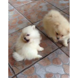Cachorros Pomerianos
