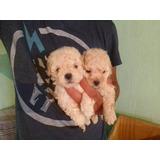 Cachorros French Minitoy