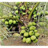 15 Mudas De Coqueiro Coco Anao Verde Da Bahia ***promoção
