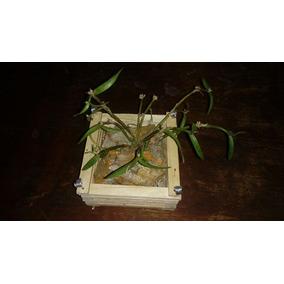Kit Com 05 Cachepot (madeira Peroba) Orquideas Promoção