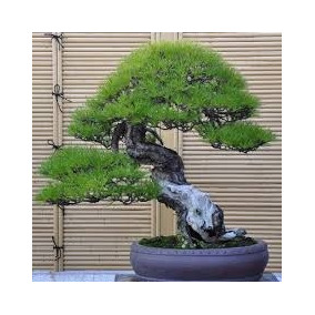 25 Sementes De Pinheiro Negro Japonês Bordô Bonsai Raro