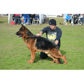 Cachorros Ovejeroa Aleman Con Pedigree