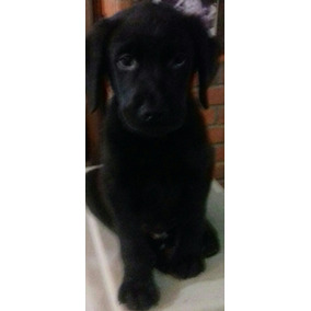 Labradores Negros Excelentes
