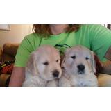 Hermosos Cachorros Golden Retriever Padres A La Vista.