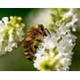 Kit Sementes P/ Apicultura / Abelhas / Nectar / Pólen
