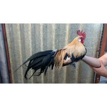 Hermosos E Impresionantes Aves Ornamentales Raza Fénix