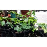 Plantines Moringa Oleifera Organica Compost -sin Quimicos
