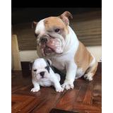 Bulldog Inglês Exótico, Cobertura , Filhotes, Buldogue
