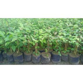 Tumbergia Roxa - P/cerca Viva 50 Mudas 30cm