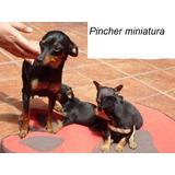 Cachorritos Pincher Doberman Miniatura