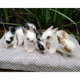 Conejos Cabeza De Leon ( Granja De Conejos Enanitos)