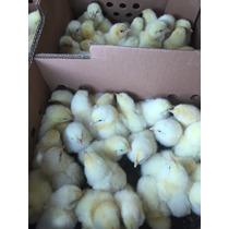 Pollos Y Galllinas Para Engorda
