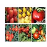 Semillas De Tomate Mix 12 Variedades, Excelente Germinación