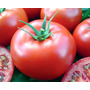 Sementes De Tomate Caqui Híbrido Vento 1.000 Sementes Tps